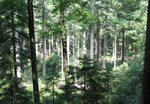 The future of Silver fir under climate change and browsing
