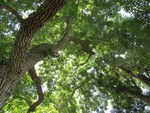 Are ash trees doomed?